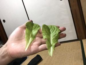 6/2 収穫2