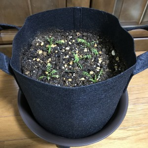 【ハーブ栽培】ジャーマンカモミールのフエルトプランターへの植え付け
