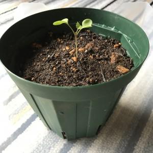 もものすけを12cm の植木鉢に植え付ける