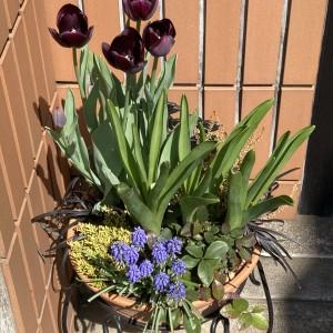 黒いチューリップが咲いた!ダブルデッカー寄植えの最終形態